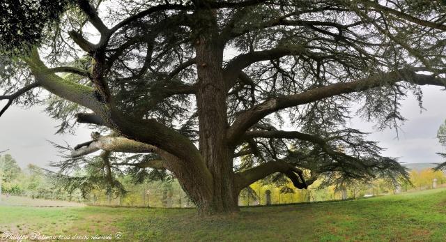 Cèdre du Château de La Rocherie un arbre remarquable